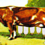 genetically-modified-cows-produce-human-milk-1024w