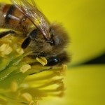 Bee Pollen: Nature's Fountain Of Youth