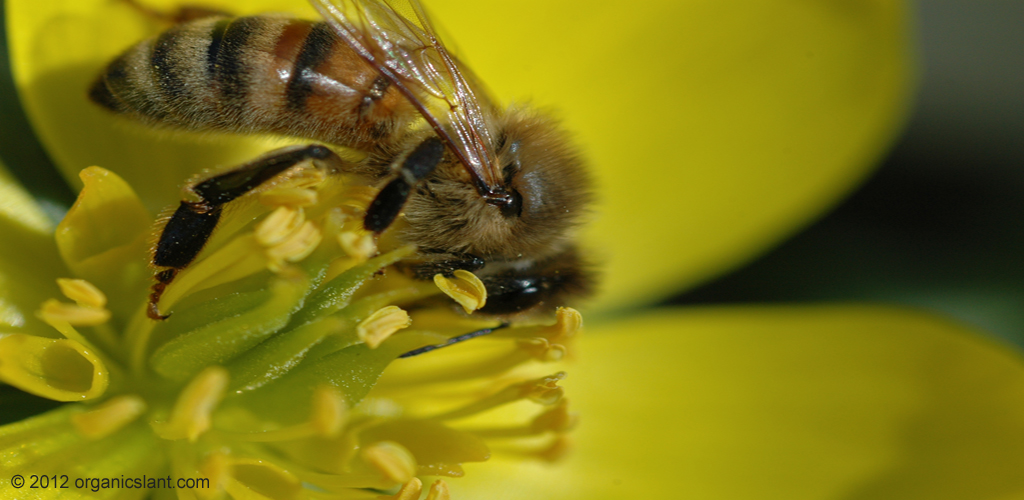 bee-pollen-natures-fountain-of-youth-1024w