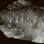 Bluefin Tuna Still Contaminated With Fukushima Radiation