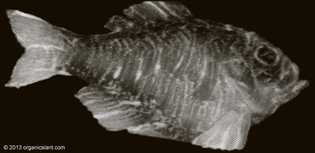 bluefish-tuna-still-contaminated-with-fukushima-radiation-1024w
