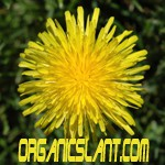 Dandelion: Medical powerhouse or lawn weed