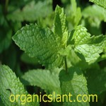 Mint protects against radiation