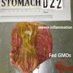 pigs-fed-gmo-diet150w