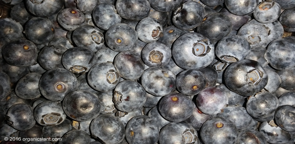 baking-blueberries-changes-their-polyphenol-content-health-benefits-1024