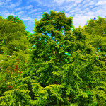 Synthetic Forests And The Dangers of Genetically Engineered Trees