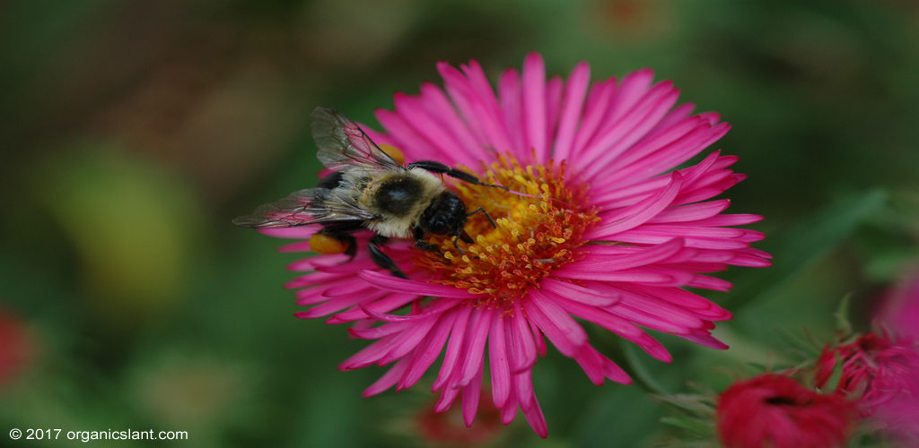 a-ghost-in-the-making-rusty-patched-bumble-bee-1024w