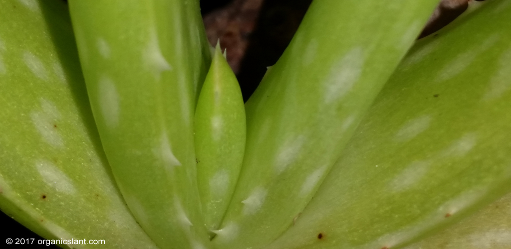 13-surprising-and-powerful-benefits-of-aloe-vera-1024w