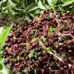 Elderberry benefits air travelers