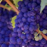 Grape-seed Extract Kills Laboratory Leukemia Cells