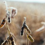 Endocrine disruptors in soy products